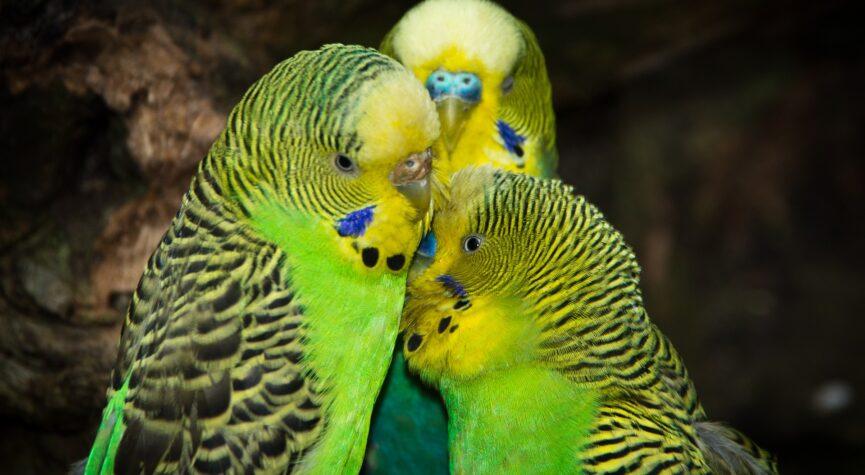Freundschaft: Für grün-gelbe Wellensittiche so wichtig wie für Menschen.